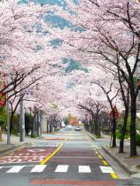 Downhill View of Cherry Blossoms, Yeong-Do, Busan