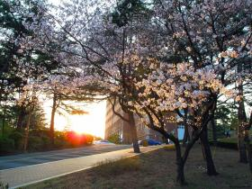 Cherry Blossoms at Sunset, Keimyung University, Daegu