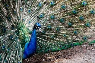 Jeju Island Peacock